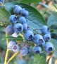 Berries_498249e6add6c.jpg