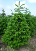 Abies nordmannia trees