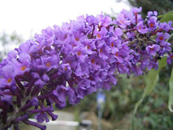 Buddleja davidii Empire Blue