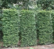 Carpinus Element Screen
