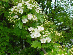 Hawthorn Hedge
