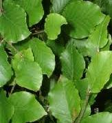 Fagus sylvatica Beech Hedge