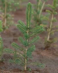 Picea abies transplants