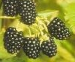 Rubus fruticosa Blackberries