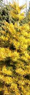Abies yellow wintergold