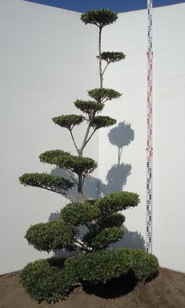 Evergreen Cloud Tree