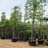 Fagus sylvatica Pleached