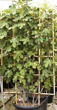 Fig tree Pleached Screen