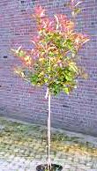 Photinia Red Robin Trees Half Standard