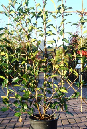Photinia Trellis