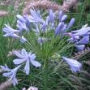 Agapanthus africans
