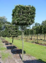 Carpinus Box head