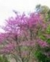 Cercis siliquastrum larger