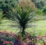 Cordyline australis large