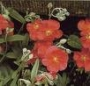 Helianthemum_Fir_4ac9e61a833a5.jpg