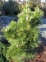 Pinus thunbergii larger