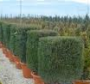 Taxus cube