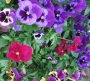 Viola pansies mix