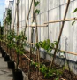 Apple low espalier