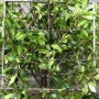 Photinia blockhead evergreen
