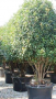 Photinia Multistem Mature